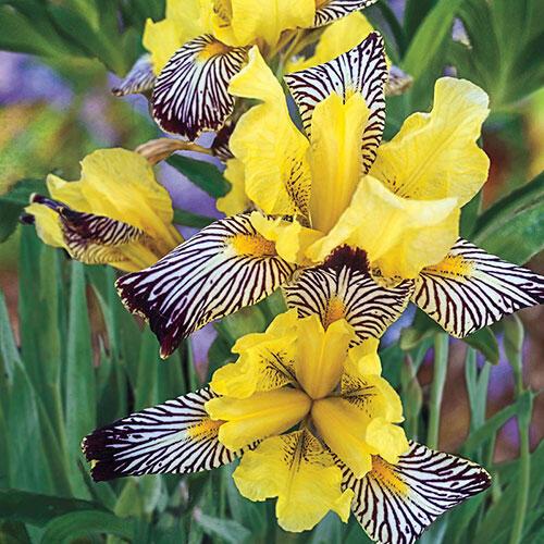 Golden Zebra Iris