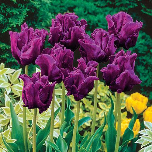 Victoria 39 S Secret Parrot Tulip