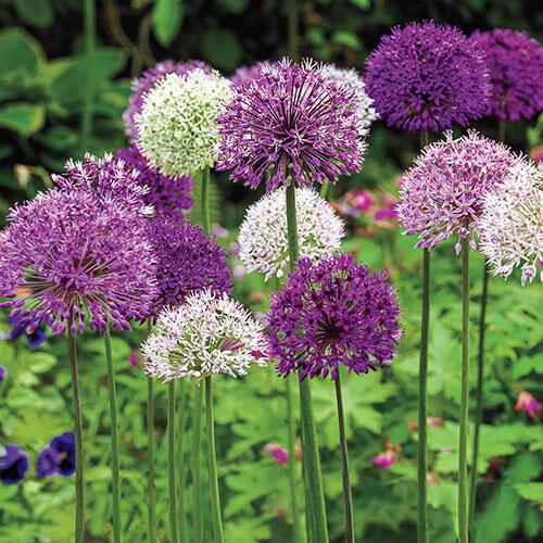 Big Impact™ Allium Mixture