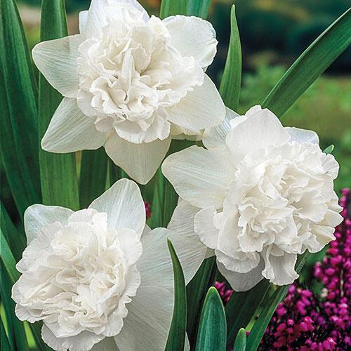 White Favourite Daffodil