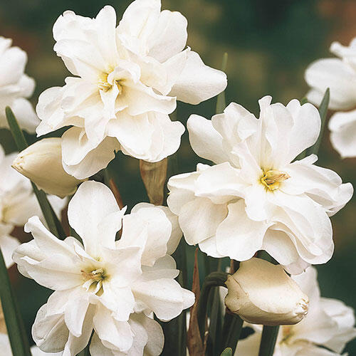Rose of May Daffodil