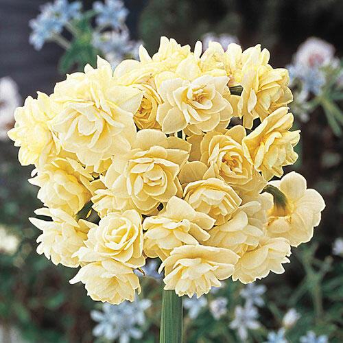 Summer Cheer Daffodil Breckscom
