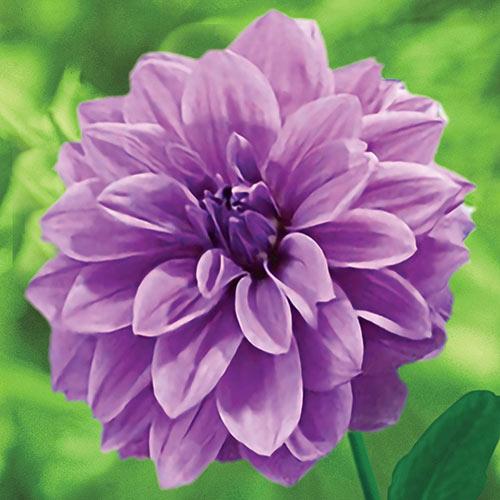 Emperor Dinnerplate Dahlia - Giant Purple Dahlias