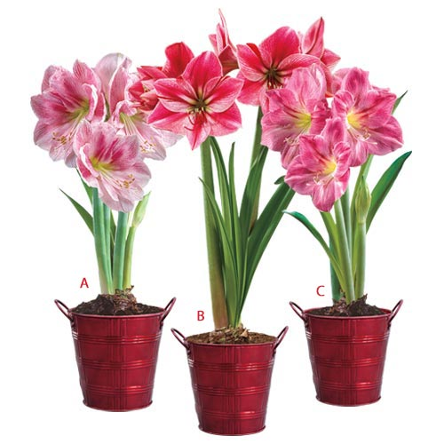 Pink Holiday Amaryllis Trio