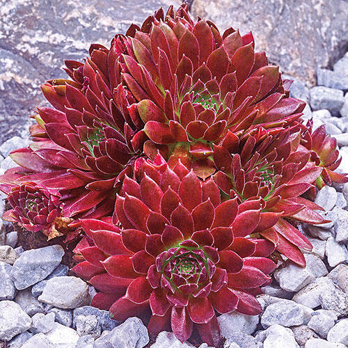 Red Rubin Sempervivum