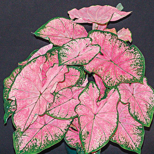Fancy Leaf Caladium Pink Splash