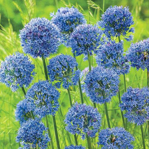 Azure Allium