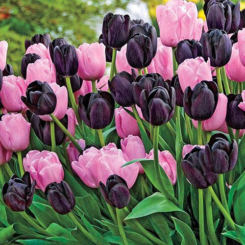 Spring Cotillion Tulip Duet™