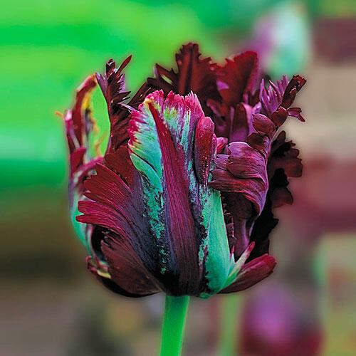 tulipe black parrot