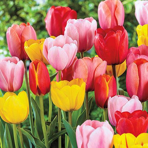 Classic perennial tulip mixture brecks classic perennial tulip mixture mightylinksfo