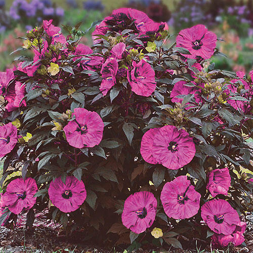 Berry Awesome Hibiscus