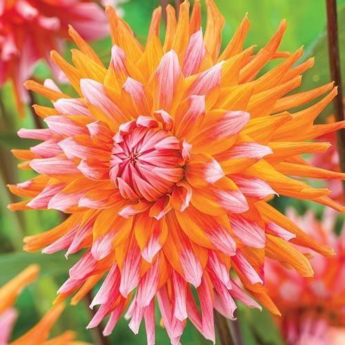 Orange Turmoil Dahlia | Brecks.com
