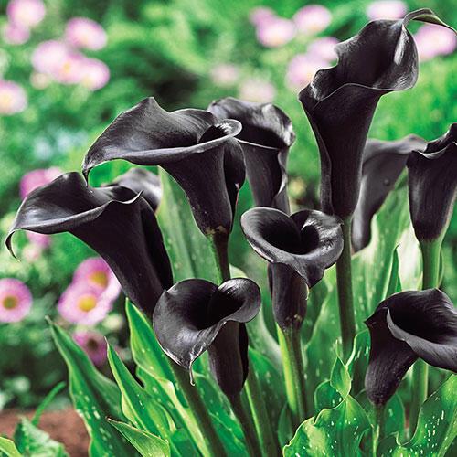 Fresh A Picture Of A Calla Lily