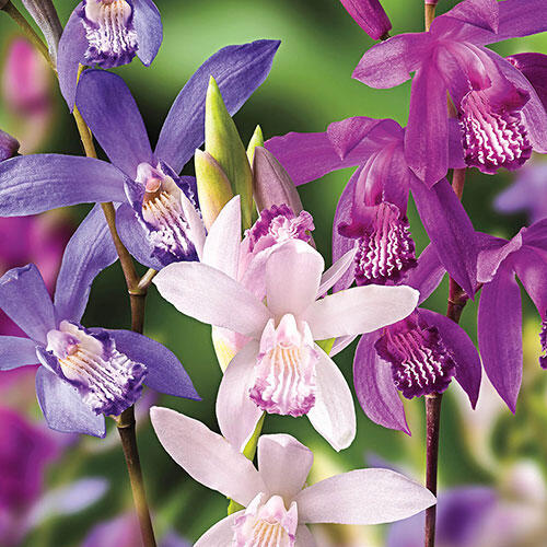 Hardy Chinese Ground Orchid Mixture