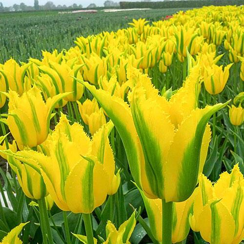 Extreme Yellow Tulip