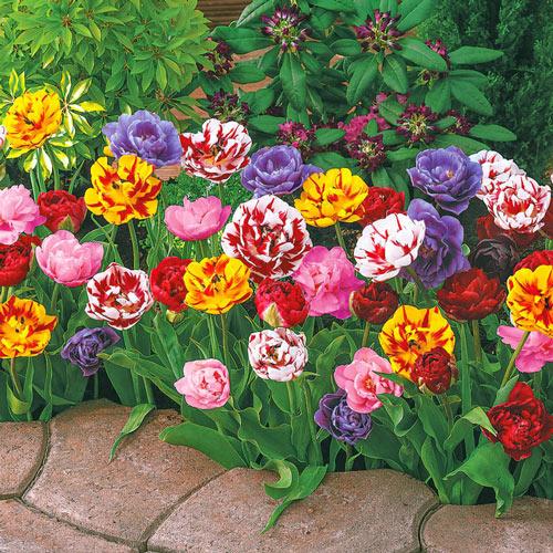 Peony-Flowering Tulip Mixture