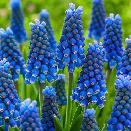 Blue Magic Grape Hyacinth