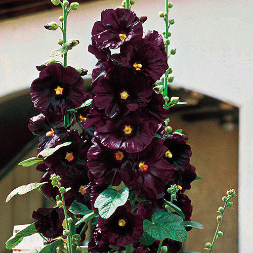 The Black Hollyhock