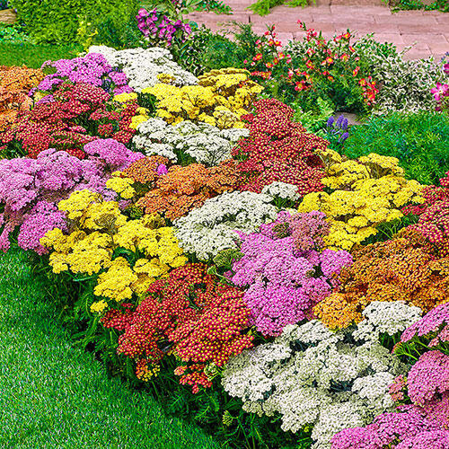 Everblooming Rainbow Yarrow Mixture
