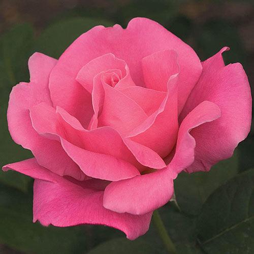 Perfume Delight Hybrid Tea Rose