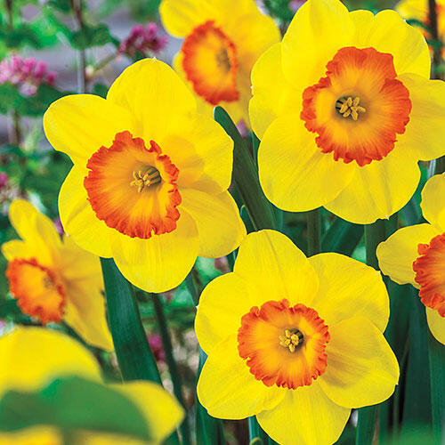Delibes Daffodil