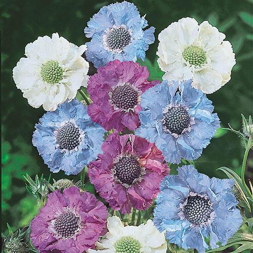 Isaac House Pincushion Flower Blend