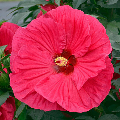 Summer In Paradise Hibiscus