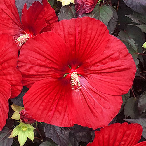 Holy Grail Hibiscus