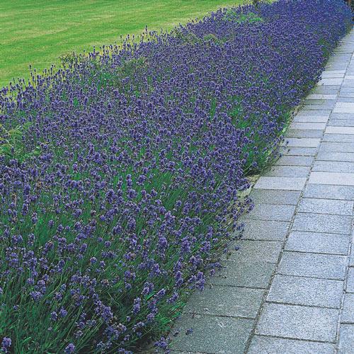 Hidcote English Lavender