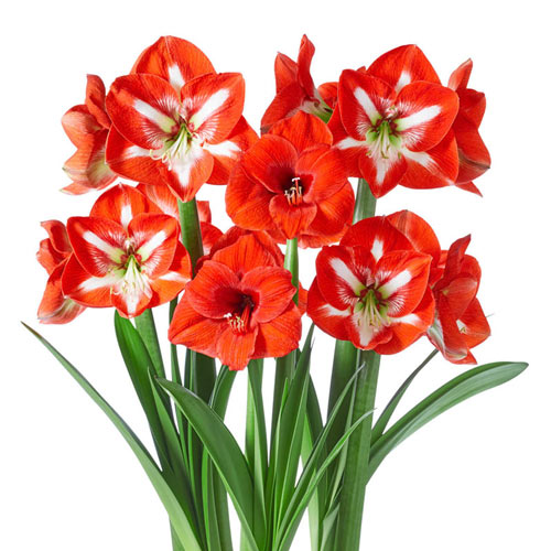 Red-and-White Amaryllis Collection