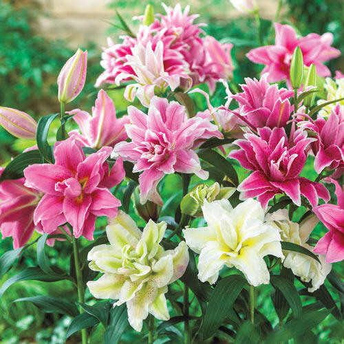 Pollen-Free Roselily Mixture