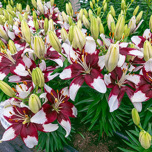 Tiny Padhye Carpet Border Lily™