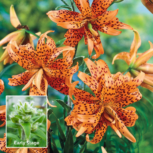 Double Tiger Lily Breck S Premium Bulbs