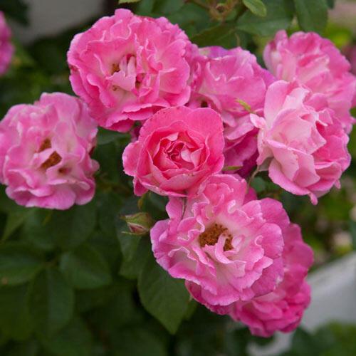 Cupid's Kisses® Miniature Rose