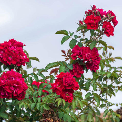 Don Juan Climbing Rose