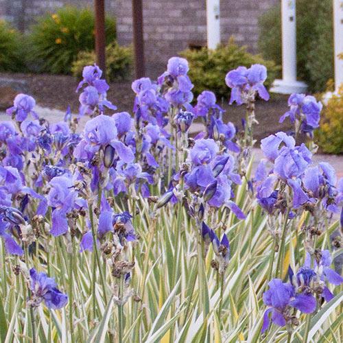 Pallida Variagata Gold Iris