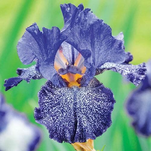 Celestial Explosion Bearded Iris