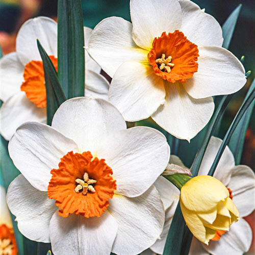 Barrett Browning Daffodil