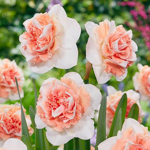 Flower Surprice Daffodil