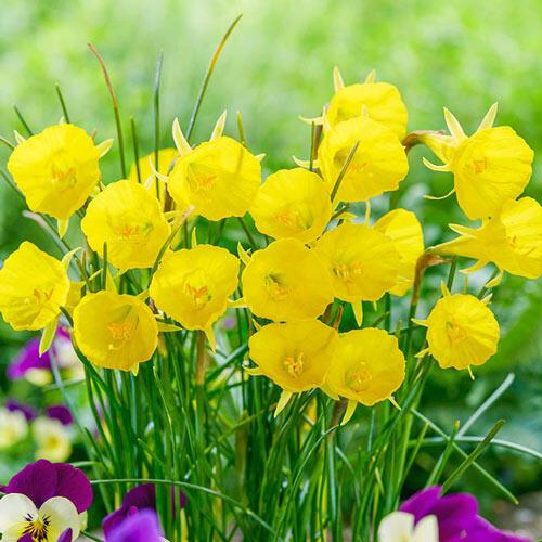 Casual Elegance Daffodil