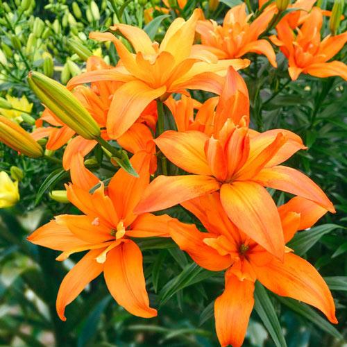 Pollen-Free Scoubidou Double Asiatic Lily