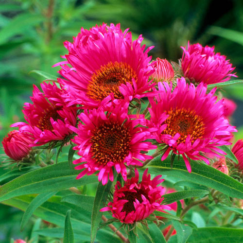 In Memory of Alma Pötschke New England Aster