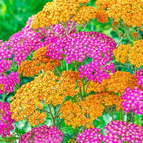 Tangy Taffy Rainbow Yarrow Mix
