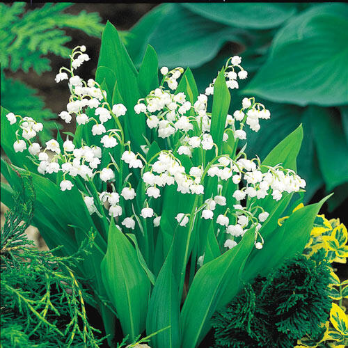 Lily-of-the-Valley  Super Sak®
