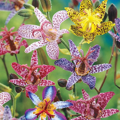 Deluxe Toad Lily Mixture Super Sak