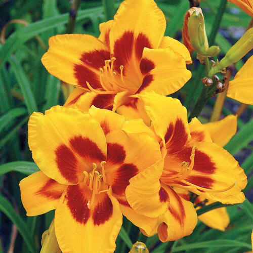 Black Eyed Susan Reblooming Daylily