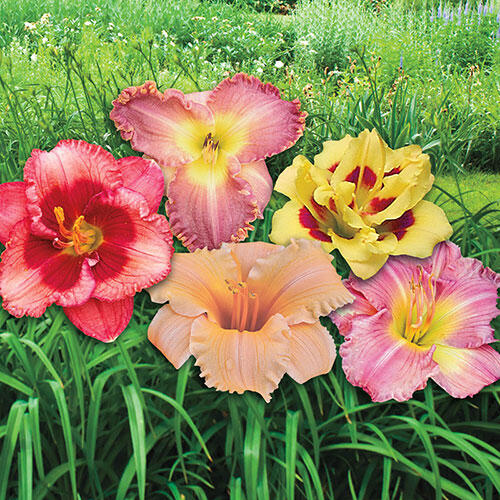 Dwarf Reblooming Daylily Mixture