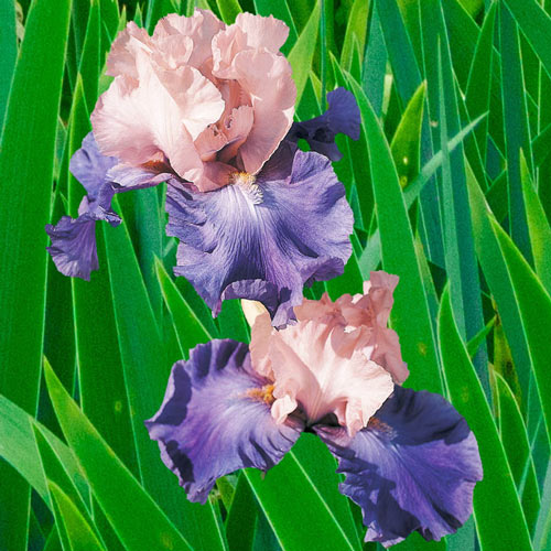 Poem of Ecstasy Reblooming Bearded Iris