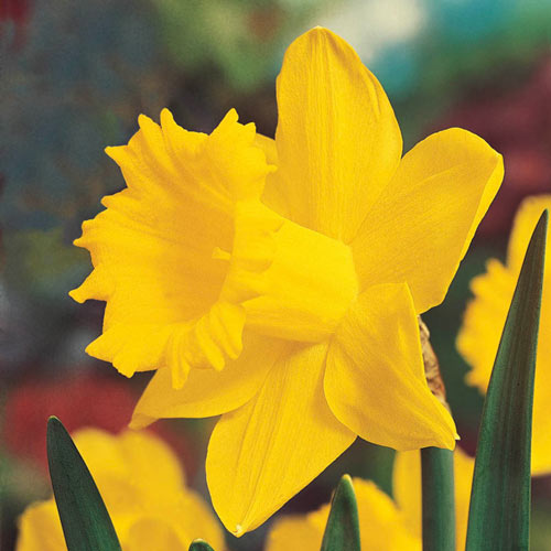 Brecks Colossal Daffodil Giant Yellow Daffodils