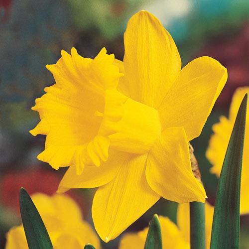 Brecks Colossal Daffodil Giant Yellow Daffodils